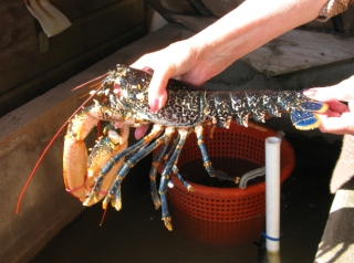 live lobster, Crail